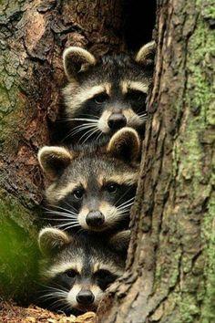 "Raccoon ""He's gone right?"" Raccoon ""Ya is he?"" Raccoon ""I think so, ya I think. Cute Creatures, Beautiful Creatures, Animals Beautiful, Unique Animals, Woodland Creatures, Animals Amazing, Exotic Animals, Strange Animals, Nature Animals"