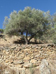 Beautiful Old Olive Tree, Portugal