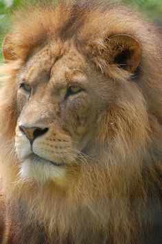 Beautiful Male Lion by CWH