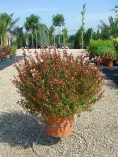Vivers Barri   Abelia x grandiflora postrata