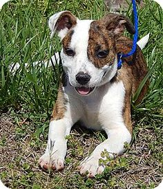 West Sand Lake, NY - American Bulldog/Terrier (Unknown Type, Medium) Mix. Meet Delilah(10 lb) BIG Personality, a puppy for adoption. http://www.adoptapet.com/pet/17929699-west-sand-lake-new-york-american-bulldog-mix