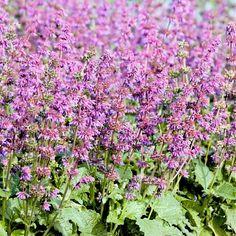 Salvia Seeds - Purple Fairy Tale at Suttons Seeds Edible Flowers, Cut Flowers, Sutton Seeds, Popular Flowers, Hardy Perennials, Woodland Garden, Salvia, Flower Seeds, Shrubs