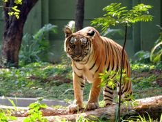 The Mysore Zoo is certainly one of the best Zoos in India. No matter how many times you visit, there is always something to see!