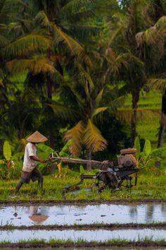 Dans la région de Canggu à Bali, un paysan pousse son motoculteur dans une rizière.