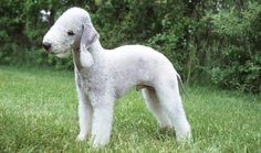 Active and cheerful, Bedlington Terriers are suitable for many types of homes. Learn more about Bedlington Terriers, including health problems and more.