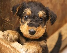 Airedale Terrier #puppy