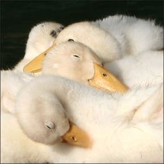 Beautiful Pictures Of Swan Pet Ducks, Baby Ducks, Cute Creatures, Beautiful Creatures, Beautiful Birds, Animals Beautiful, Animals And Pets, Funny Animals, Cute Ducklings