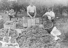 Grape Harvest at Riwaka, 1912
