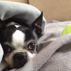 My Boston Terrier, Bradley, and his tennis ball!