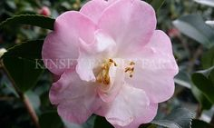 October Magic dwarf camellia. Light pink double blooms. Fall flowers.