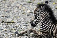 Little stripey A newborn baby zebra named Seka rests at the Belgrade Zoo in Serbia on Oct. Belgrade Zoo, Zebra Pictures, Animal Tracks, Baby Zebra, Cute Little Animals, Zoo Animals, Zebras, Squirrel, Fur Babies