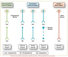 About Pharmacology | Neurotransmitters Associated with the Autonomic Nervous System