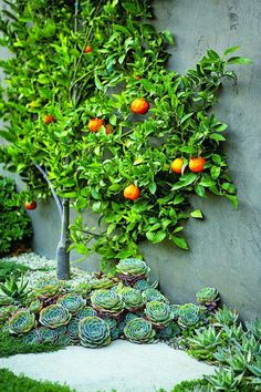 Ideal space: espaliered fruit tree and massed succulent planting. This is very close to the look I'd love to achieve along our fence
