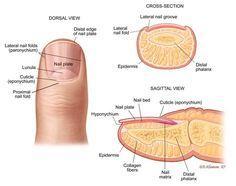 20 Best Nail Anotomy Images Nails Nail Tips Nail Designs