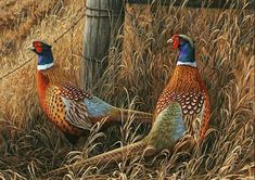 Beautiful Iowa Pheasants