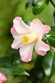 553083 - Camellia (Camellia x williamsii 'Cupcake')
