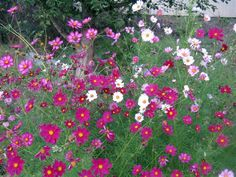 Cottage Garden Flowers | Cosmos: A Cottage Garden Classic