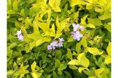 Duranta repens 'Gold' Duranta, How To Attract Birds, Hedges, Blue Flowers, Shrubs, Lilac, Berries, Plants, Gold