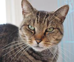 Adoptable Cat: January - Tiger Cat (Salisbury, MA) #cat #pets #animals #adoption #rescue