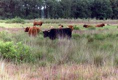 Nederlandse boerderijdieren: Runderen in Mantingerverld (Drenthe)