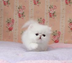 doll face persian kittens | Cute Cats Pictures #persiancatdollface
