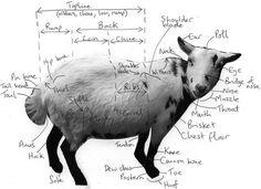 Diagram of pygmy goat