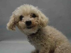 SAFE - 12/05/15 - **SENIOR ALERT** - ANGEL - #A1059516 - Super Urgent Brooklyn - NEUTERED MALE WHITE POODLE MIN MIX, 12 Yrs - OWNER SUR - EVALUATE, NO HOLD Reason PERS PROB - Intake 12/03/15 Due Out 12/03/15