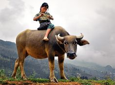 In Sa Pa, Viet Nam a girl rides her water buffalo. This picture comes from National Geographic: Japan. #RuralScene #VietNam #Buffalo Photograph credit: Denis Rozan, Your Shot