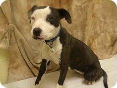 Upper Marlboro, MD - American Bulldog Mix. Meet FACE a Dog for Adoption.