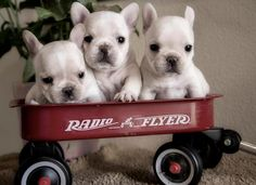 ❤3 wee lil Frenchies ready for a ride❤
