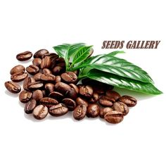 Arabica Coffee Plant Seeds  2,95€  Seeds Arabica Coffee Plant (Coffea Catura Arabica) Price for Package of5 or 10 Seeds. The world's most important beverage plant, with its handsome shiny foliage and fragrant white flowers, make fine indoor plants. In its natural habitat, these become small trees up to 20 feet high but rarely exceed 6 feet inside. It is an easy to care for plant and adapts well to full sun to part shade. To