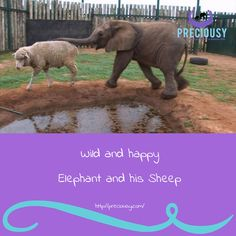 This is an extraordinary tale of an amazing friendship between a baby elephant, a sheep and a handful of people at Shamwari Rehabilitation Centre.  https://www.youtube.com/watch?v=w30hgwFkXd8