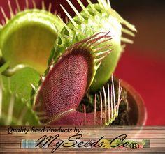 VENUS FLY TRAP graines carnivore Dionaea par ALLooABOUTooSEEDS
