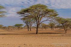 Acacia trees, Olturot, Marsabit, Nothern Kenya.