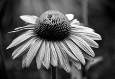 A tired and drooping Echinacea bloom in focus. With wilting petals, curling at the edges, this once lovely, bright flower is close to being just a memory in this atmospheric photo. Bright Flowers, Cheryl, Bloom, Landscape, World, Photography, Beautiful, Photos, Glitter Flowers