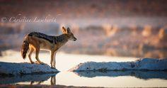Blackjack Jackal at a waterhole in Etosha, early morning light. Morning Light, Early Morning, Kangaroo, Wildlife, Animals, Photos, Animales, Pictures, Animaux
