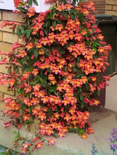 Bignonia capreolata 'Tangerine Beauty' (Tangerine Beauty Crossvine) hardy vine, waxy evergreen leaves, zone 6b-11