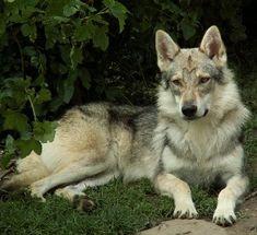 chien-loup-tchecoslovaque