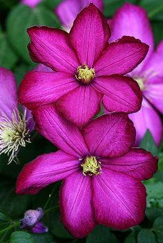 ~Clematis~ Feed your plants with GrowBest from http://www.shop.embiotechsolutions.co.uk/GrowBest-EM-Seaweed-Fertilizer-Rock-Dust-Worm-Casts-3kg-GrowBest3Kg.htm