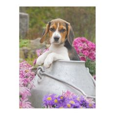 Cute Tricolor Beagle Dog Puppy in Milk Churn  cozy Fleece Blanket  australian shepherd lab mix puppy, best puppy breeds, kittens and puppys #beaglepuppy #rottweiler #pet, back to school, aesthetic wallpaper, y2k fashion