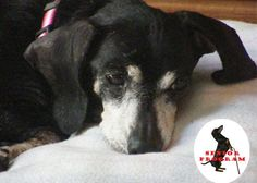 Meet Maddy - SOUTH CAROLINA ~ she's an adorable female #dachshund seeking her fur-ever home. Right now she's contemplating how long it might be for you to see & #adopt her. She's patiently waiting in S.Carolina with Fur Ever Dachshund Rescue ~ & travel may be availabe to where you are <3
