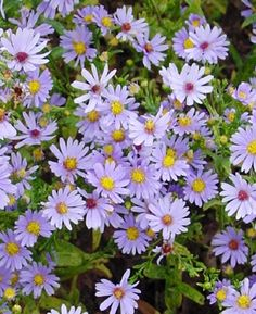 Sky Blue Aster, Attracts Butterflies to Your Garden, 25 Seeds Flowers Nature, Wild Flowers, Beautiful Flowers, Aster Flower, Full Sun Plants, Dry Sand, Gardening Zones, Gardening Blogs, Plant Lighting