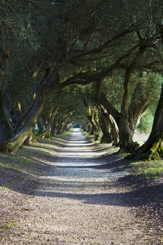 Olives path by Javi Ponte Olives, Tree Tunnel, Cabin In The Woods, Tree Canopy, Olive Gardens, Tree Line, Tree Forest, Olive Tree, Toscana
