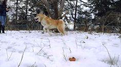 My Big Boy Bakudai An Akita Inu having fun in the snow https://youtu.be/DWqGkHo_zic