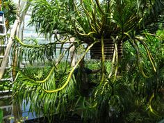 Repotting Grammatophyllum speciosum | Flickr - Photo Sharing!