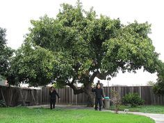 Avocado tree - yes - avocado is a fruit. Do you know how to peel an avocado? Aquaponics Fish, Aquaponics System, Live Oak Trees, Avocado Tree, Tropical Landscaping, House Landscape, Trees And Shrubs, Evergreen Trees, Edible Garden