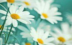 白いマーガレットの花畑の壁紙