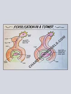 Buy Fertilisation of Flower Charts Online Buy Fertilisation of Flower Charts Online for schools as well as students regarding their project.