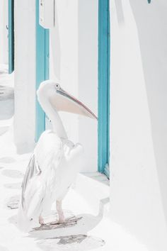 White washed walls and turquoise door frames. White pelican taking a stroll in Greece.