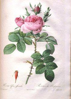 Botanical - Flower - Les Roses 18
